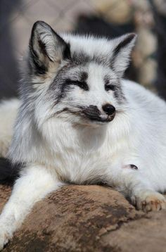The Marble Fox is Sly and Cute