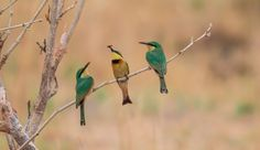 feed me - feed me ! - what a beautiful sight the Little Bee-eater mom feeding the youngsters www.facebook.com/GunnarsPhotos http://www.gunnarheilmann.com/  fyi its a Little Bee-eater, Merops pusillus