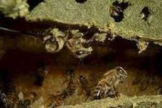 A Própolis é uma substância resinosa produzida pelas abelhas através da mistura de sua saliva e de resina, coletada nas gemas das plantas. A Própolis é encontrada na colmeia, geralmente em estado …