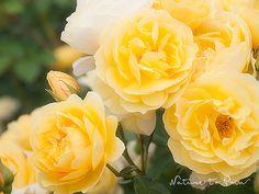 Kunstdruck-Leinwandbild mit gelben Rosen