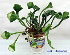 @@African violet,Saintpaulia Senk`s Anemone (D. Senk), starter plant @@    eBay