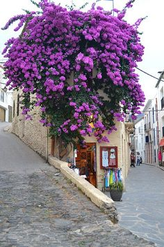 bougainvillea explosion - just gorgeous.