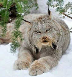 The Canadian lynx is a North American mammal of the cat family, Felidae. It is a close relative of the Eurasian Lynx. However, in some characteristics the Canadian lynx is more like the bobcat than the Eurasian Lynx. ~via Amazing Things in the World, FB Big Cats, Cool Cats, Cats And Kittens, Nature Animals, Animals And Pets, Cute Animals, Animals In Snow, Baby Animals, Smiling Animals