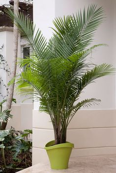 majestic majesty palm a native of madagascar majesty palms are easy care indoor palms
