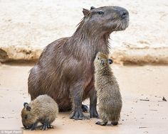 A capybara - the largest rodent in the world - with two young ones on the banks of the Cuiaba River