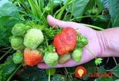 Pestovateľ prezradil jednoduchý trik, ako ochrániť jahody pred škodcami a chorobami!