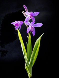Bletilla striata in bloom (chinese terrestrial orchid)