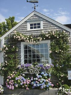 Beautiful climbing roses, hydrangeas, and petunias frame the window of a gray shingle cottage