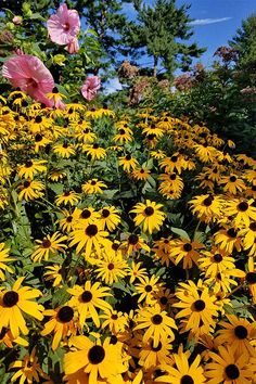 How to Grow Black-Eyed Susan Flowers 2019 Plant black eyed Susan's under lilac tree? The post How to Grow Black-Eyed Susan Flowers 2019 appeared first on Flowers Decor. Green Garden, Garden Plants, Vegetables Garden, Terrace Garden, Black Eyed Susan Flower, Black Eyed Susan Vine, Flowers That Attract Butterflies, Lilac Tree, Colorado