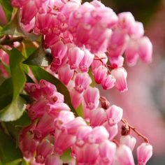 Pieris japonica 'Passion' (Large Plant) - Shrubs & Roses - Thompson & Morgan
