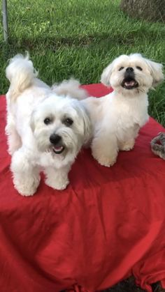 Toy Poodle Puppies, Havanese Puppies, Yorkie Puppy, Maltese Dogs, Free Puppies For Adoption, Pet Adoption, Small Dog Rescue, Rescue Dogs, Shih Tzu Rescue