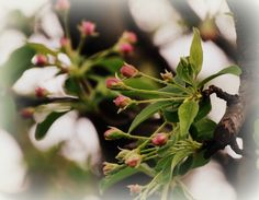 Crabapple-just-budding.jpg (1692×1315)