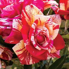 Striped  Hybrid Tea Daring Spirit