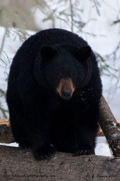 Spring_Black_Bear (by teklanika photos)