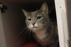Diamond is an adoptable Domestic Short Hair Cat in Lowell, MA. Let Diamond bring a little 'sparkle' into your life! Her owner's grandchildren moved in and they, unfortunately, were allergic to her. Di...