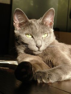 If you are looking for a truly unique and beautiful kitten you don't have to look much further than the Russian Blue breed. Delightful Discover The Russian Blue Cats Ideas. Korat Cat, Nebelung, Blue Cats, Grey Cats, I Love Cats, Cool Cats, Chat Lion, Russian Blue, Russian Cat