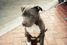 b Cute Puppies, Cute Dogs, Dogs And Puppies, Doggies, Pit Bull Puppies, Blue Pit Puppies, Animals And Pets, Baby Animals, Cute Animals
