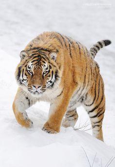 Tiger by Volodymyr Burdyak on 500px