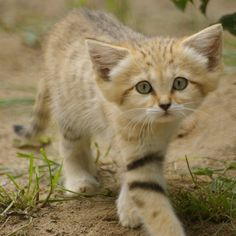 Rare Sand Cat kitten, born at Israel's Zoological Center Tel Aviv Ramat Gan - Safari. Once plentiful in numbers in the dunes of Israel, the Sand Cat has become extinct in the region.