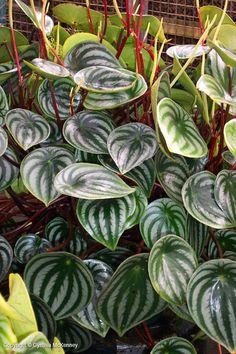 Watermelon Peperomia (Peperomia argyreia) #houseplant #plants