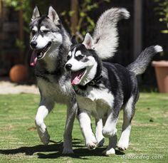Huskies on the run.