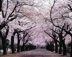 Cherry Trees. I had a dream very much like this once, about 7 years ago.