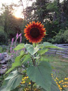 7-16-12-sunflower.jpg 2,448×3,264 pixels