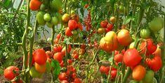 Ezt a természetes műtrágyát használd, ha bőségesebb paradicsomtermésre vágysz!        Nem a tövek számát kell növelni, ha bőségesebb paradicsomtermésre vágysz, csupán a megfelelő tápot kell alkalmazni. Készítsd el ezt a természetes lombtrágyát, és alkalmazd annak érdekében, hogy Tomato Garden, Growing Vegetables, Gardening, Flowers, Garden, Agriculture, Plant, Crop Protection, Lawn And Garden