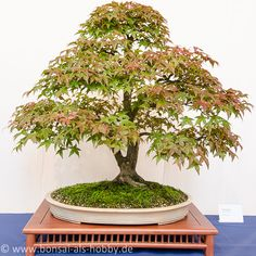 Acer palmatum als Bonsai