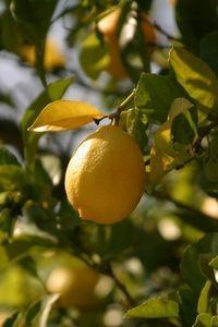 how to prune my lemon tree