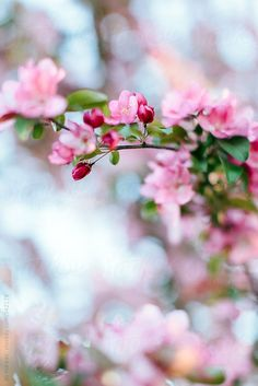 """watercolors-intherain:  """"Cherry blossom  By aliharper  Available to license exclusively at Stocksy  """""""