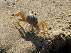 Virginia Beach Sand Crab
