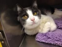 Cami Domestic Short Hair Whiskers Tails And Ferals Offers Cat And Dog Adoptions In Northern California S Napa County We Cats And Kittens Cats