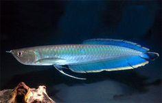 Blue-Arowana