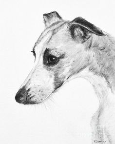 Elegant #Whippet Art by Kate Sumners - KateSumners.com - Art prints, gifts available whippet italian greyhound greyhound #art