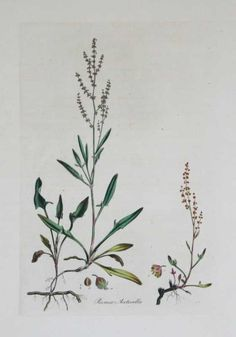 Rumex Acetosella--Sheeps Sorel by William Curtis For Essiac tea Botanical Illustration, Botanical Prints, Natural History, Botany, Reptiles, Feathers, Shells, Lime, Birds