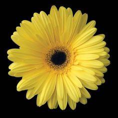 Photographic Print: Yellow Gerbera Daisy Poster by Jim Christensen : Gerber Daisies, Yellow Daisies, Margaritas Gerbera, Yellow Print, Shades Of Yellow, Color Yellow, Botanical Art, Daffodils, Tulips