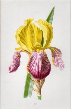 Vintage Red Wiliwili Flower Botanical Drawing Art Print Poster Choose Size Frame