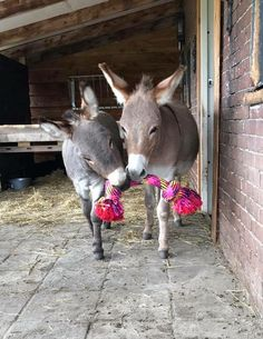 Sharon Verheijden ~ Vesper & Jinx playing with a new tool Baby Donkey, Cute Donkey, Mini Donkey, Farm Animals, Animals And Pets, Funny Animals, Cute Animals, Horse Pictures, Animal Pictures