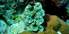 Photos of the giant clam at the Similan islands