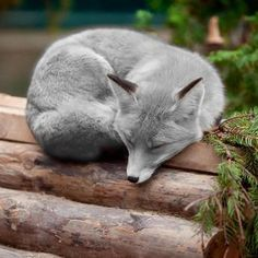 Very sleepy blue Fox. 16 Cute Animal Pictures for Your Day Nature Animals, Animals And Pets, Baby Animals, Funny Animals, Cute Animals, Wild Animals, Cute Creatures, Beautiful Creatures, Animals Beautiful