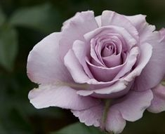 Silverstone - Standard Rose - Roses - Flowers by category | Sierra Flower Finder
