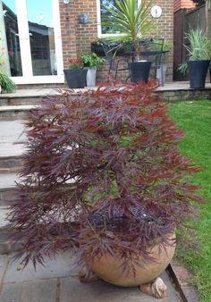This acer has survived happily in the pot for a good few years Japanese Maple Tree Care, Chinese Maple Tree, Japanese Maple Bonsai, Landscaping Plants, Front Yard Landscaping, Container Plants, Container Gardening, Outdoor Plants, Outdoor Gardens