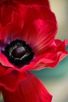 Anemone ~ An example of red and black in nature. My Flower, Beautiful Flowers, Cactus Flower, Colorful Roses, Gerbera, Red Poppies, Poppy Flowers, Poppies Art, Floral Flowers