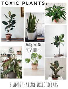 A guide to the prettiest cat safe non toxic house plants. : A guide to the prettiest cat safe non toxic house plants. – A guide to the prettiest cat safe non toxic house plants. : A guide to th Houseplants Safe For Cats, Types Of Houseplants, Cat Plants, Garden Plants, Flowers Garden, Indoor Garden, Potted Plants, Cat Safe House Plants, Houses