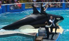 """Evidence: ALDF online article. Title: """"Make a Slash: Free Lolita!"""" Published: By Animal Legal Defense Fund in 2013. Argument: Explains how ALDF paired up with PETA and sued NMFS for animal cruelty. Also, they made a petition to prove how many people support the idea of getting rid of whale captivity. I will use this in my third body paragraph."""