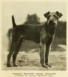 CH 'Birchcliffe Oorang'. From the book 'All About Airedales' by R.M. Palmer (1919)