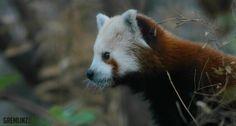 Red Panda 01 by GremlinzTattoo.deviantart.com on @DeviantArt