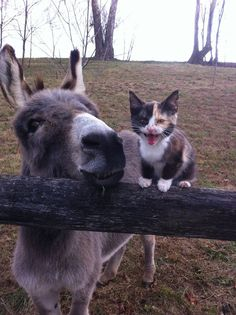 Training Sherman to be a racing donkey seemed like a good way to speed his healing. But he had other ideas. Cute Funny Animals, Cute Baby Animals, Animals And Pets, Cute Cats, Wild Animals, Baby Donkey, Cute Donkey, Mini Donkey, Baby Cows