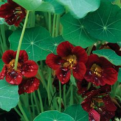 nasturtium 'black velvet' - in love with this edible flower!
